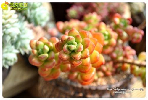 颜色喜人的丸叶松绿-1