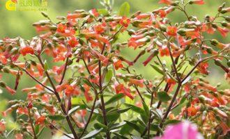 40种长寿花图鉴
