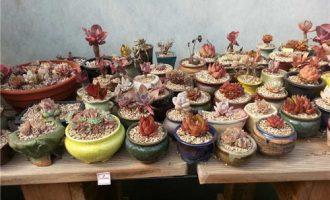 美爆棚的韩国多肉植物大棚