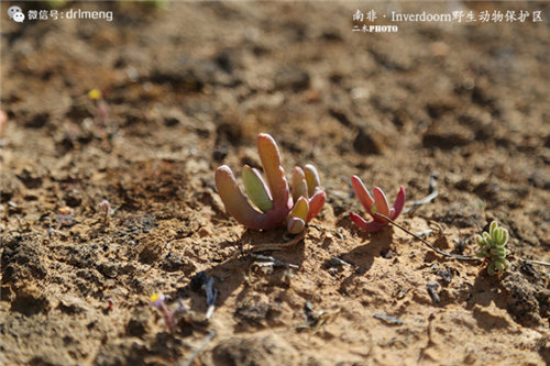 南非inverdoorn野生动物保护区的多肉植物