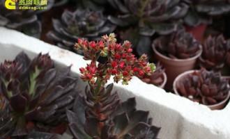 多肉植物开花一招灵!