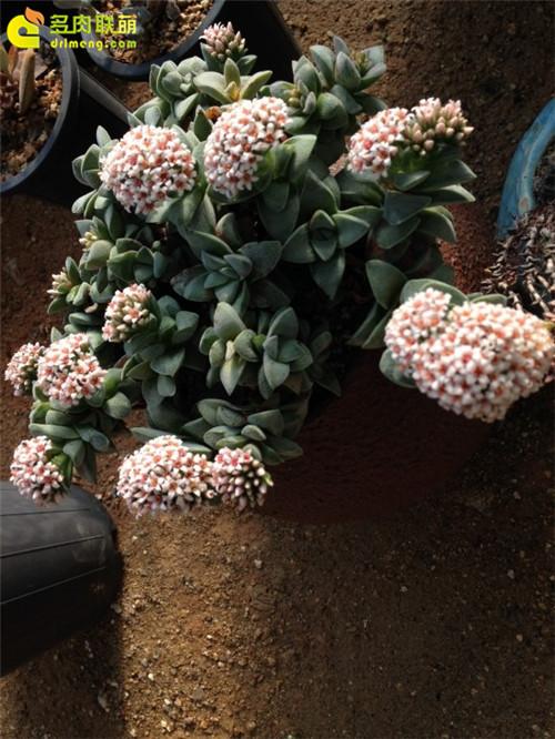 春天开花的多肉植物 |