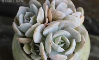 鲁氏石莲花 Echeveria runyonii