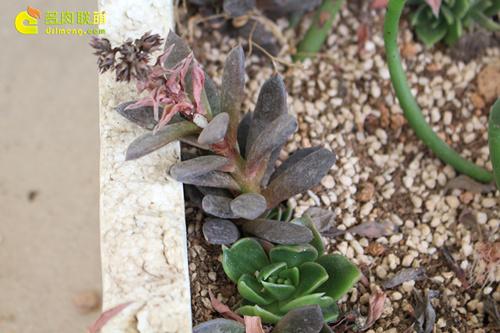 多肉植物的花箭繁殖-2