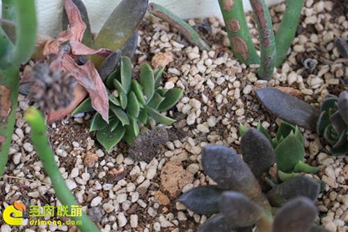 多肉植物的花箭繁殖-3