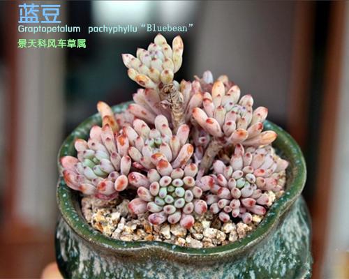 """多肉植物蓝豆 Graptopetalum pachyphyllum """"Bluebean""""-1"""