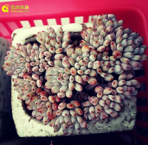 """多肉植物蓝豆 Graptopetalum pachyphyllum """"Bluebean""""-3"""