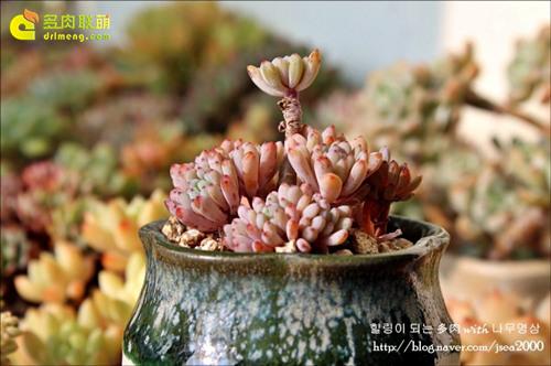 """多肉植物蓝豆 Graptopetalum pachyphyllum """"Bluebean""""-6"""