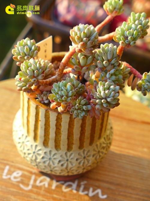"""多肉植物蓝豆 Graptopetalum pachyphyllum """"Bluebean""""-7"""