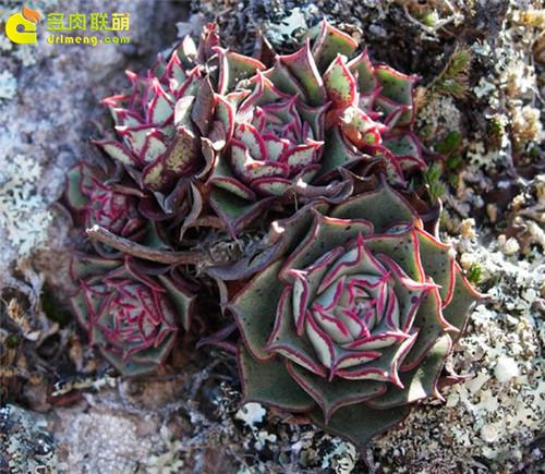 野生状态下的阿兹塔罗西玛 Echeveria longissima var. aztatlensis