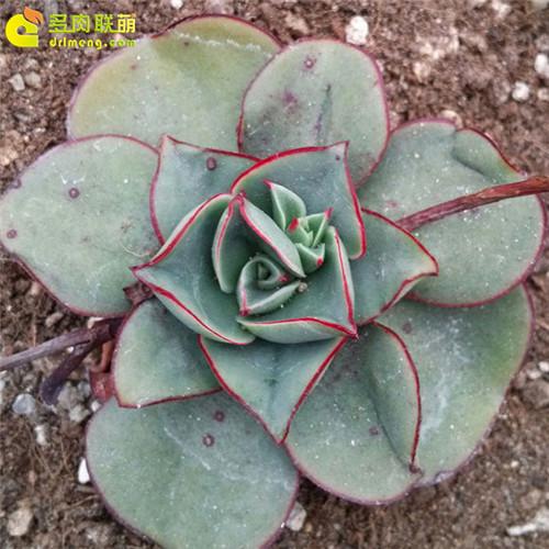 矮花罗西玛(罗变B) Echeveria longissima var. brachyantha -1