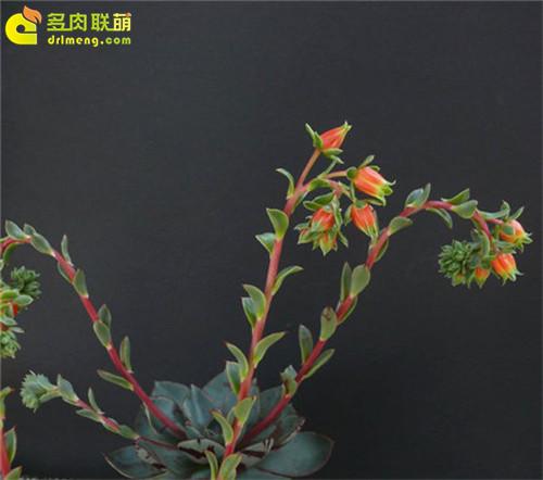 矮花罗西玛(罗变B)开花
