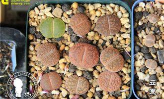 生石花养护的27个问题