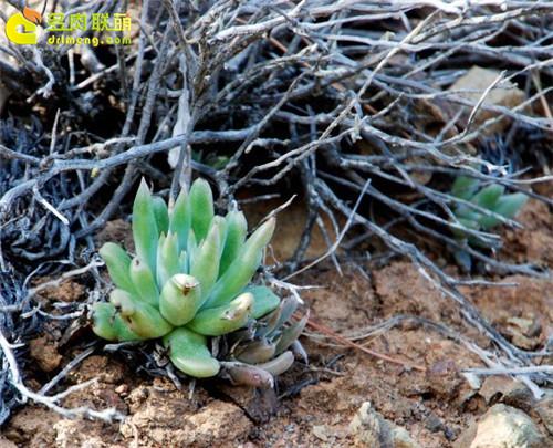 仙女杯 阿库弥内特 Dudleya acuminate-2
