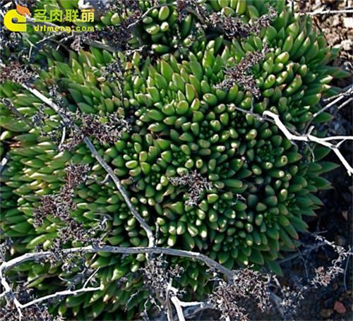 仙女杯 阿库弥内特 Dudleya acuminate-5