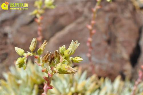 仙女杯 阿尔比芙洛亚 Dudleya albiflora-4