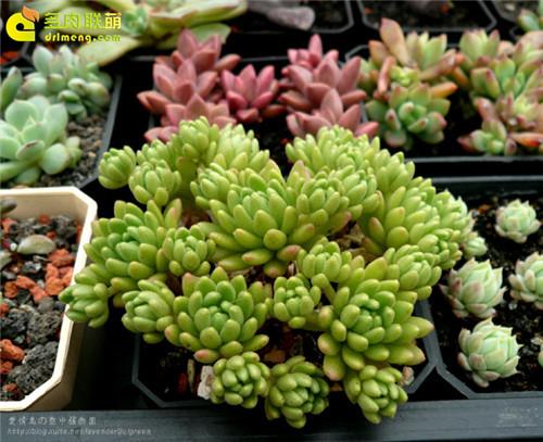 多肉植物 春上 Sedum hirsutum ssp. baeticum Rouy-1
