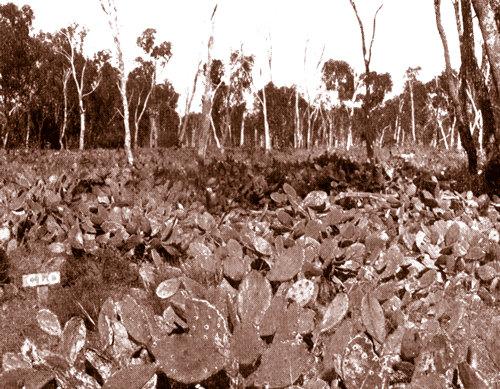 澳洲仙人掌防治之路-1