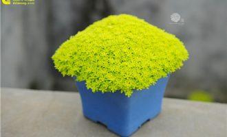 黄金万年草,草美如花
