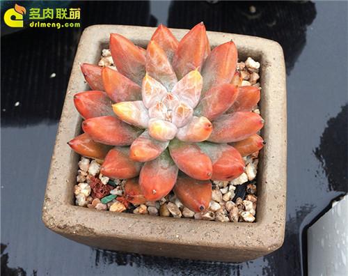 杜里万莲 Echeveria tolimanensis-1