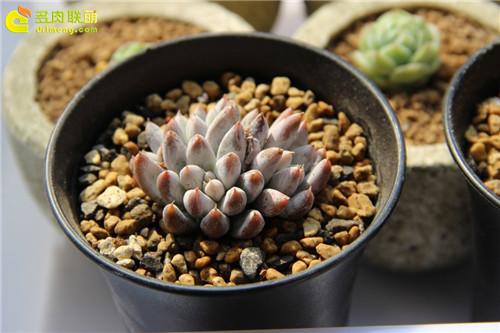 杜里万莲 Echeveria tolimanensis-6