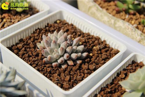 杜里万莲 Echeveria tolimanensis-7