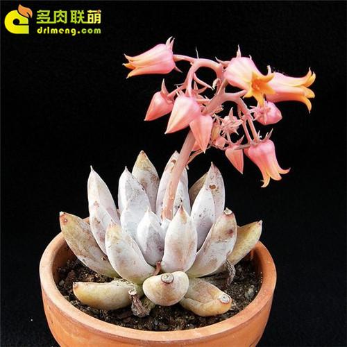 杜里万莲 Echeveria tolimanensis-8