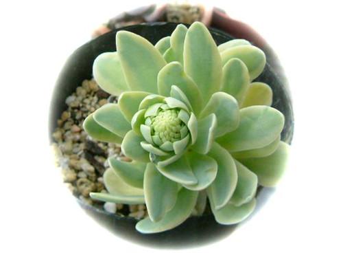 金星(黄覆轮) Orostachys iwarenge f. variegata Kinbosi