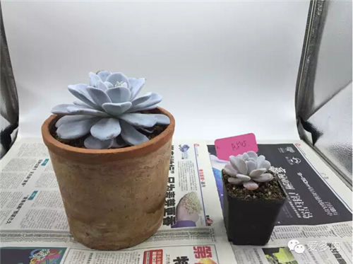 两盆雪莲的成长对比