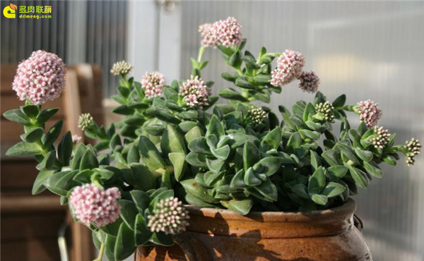 新娘捧花(Crassula Bride's Bouquet)