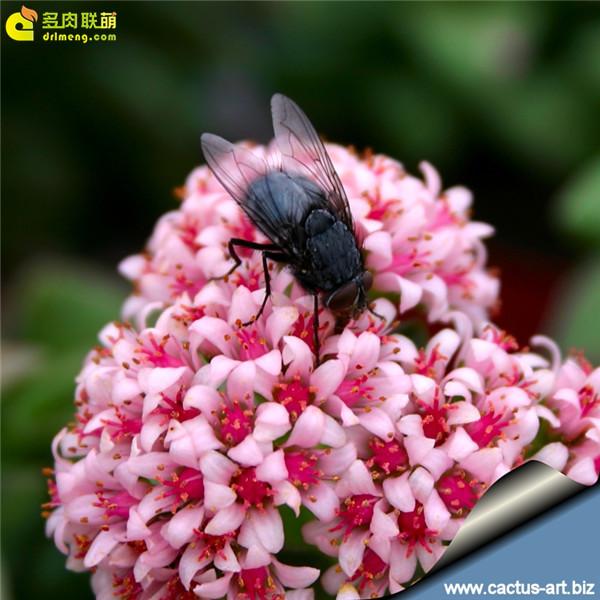 神童 Crasula cv. Spring Time(1)