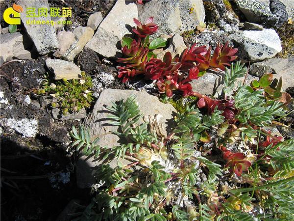 高山上的多肉植物10