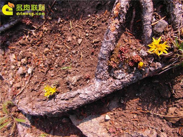 高山上的多肉植物12