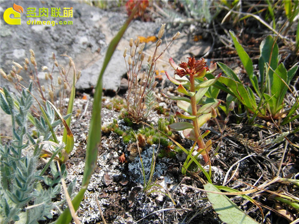 高山上的多肉植物16