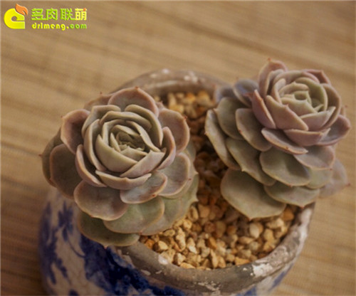 蓝色惊喜,Echeveria 'Blue Surprise'-3