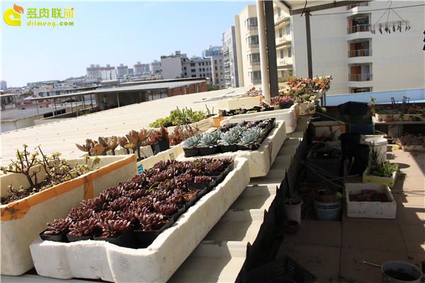 天台种植的多肉植物-4