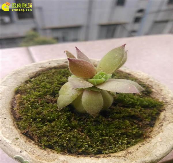 观音莲的成长变化-23