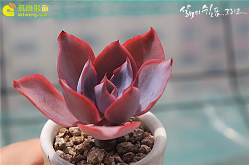 晚霞 Echeveria Afterglow-4
