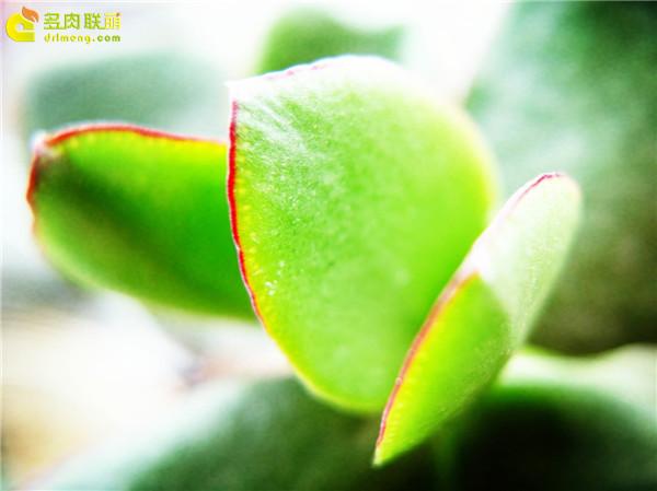 微距下的多肉植物们-11