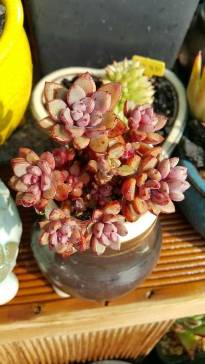 紫梦 Graptoveria cv Purple Dream-2