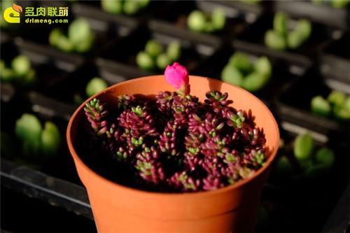 紫米粒-1