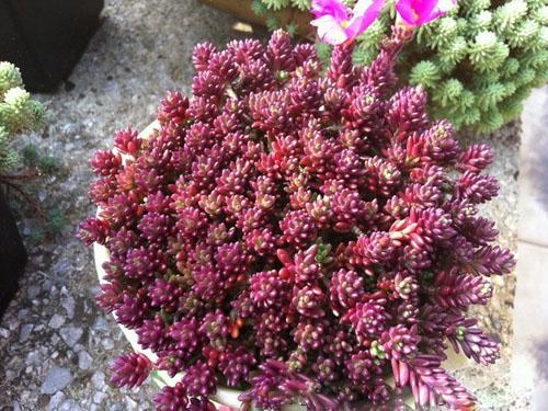 紫米粒-2