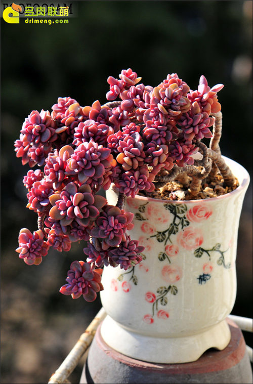 紫心 Echeveria cv. Rezry-1