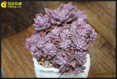 紫心 Echeveria cv. Rezry-2