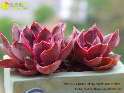 紫焰 Echeveria Painted Frills-1