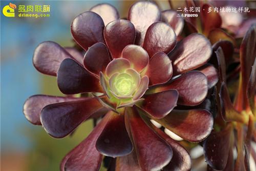 紫羊绒-3
