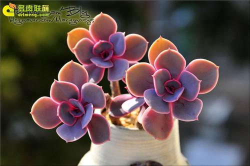 紫珍珠 Echeveria 'Perle von Nurnberg'-1