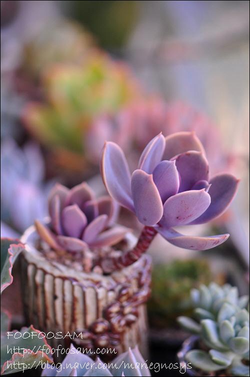 紫珍珠 Echeveria 'Perle von Nurnberg'-2