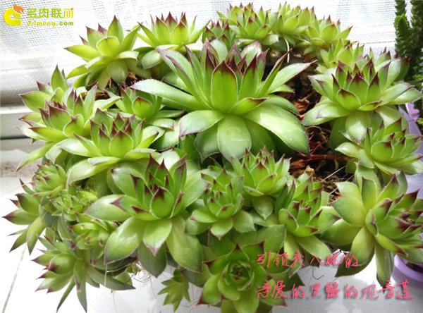 多肉植物观音莲
