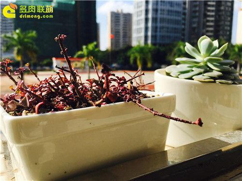 广东新手养的多肉植物-1
